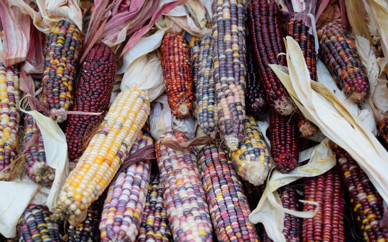 De 34 razas de maíz criollo reportados en Colombia, en los municipios evaluados se encuentran aproximadamente 11. Foto Pxhere