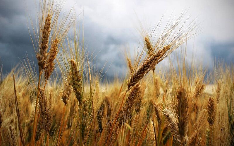 Los cultivos de trigo ocupan hoy una superficie de 217 millones de hectáreas en todo el mundo. / Pixabay