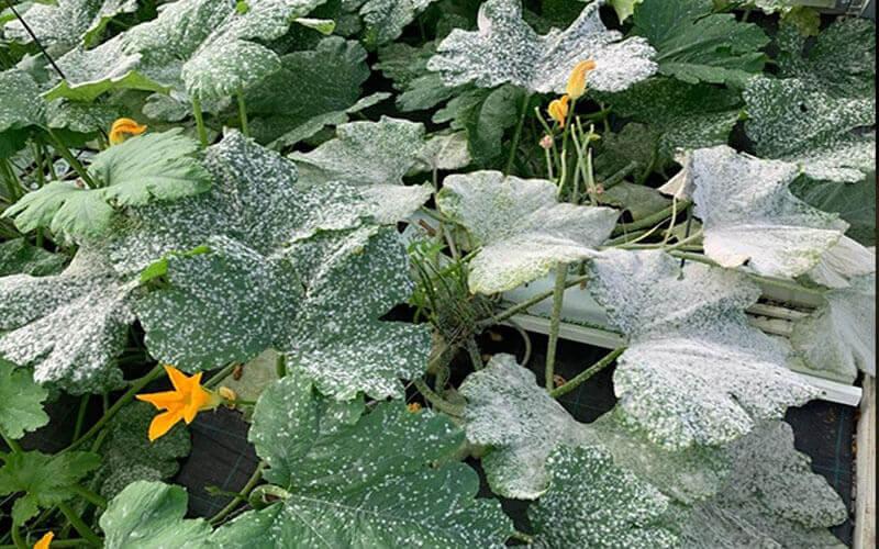 Síntomas típicos de oídio de cucurbitáceas causados por 'P.xanthii' en plantas de melón.