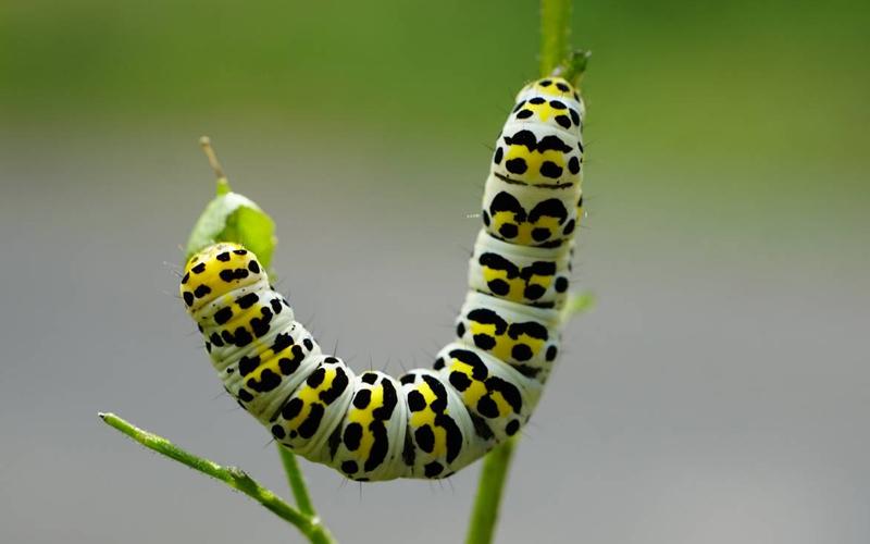 Hallan un nuevo grupo de genes virales que protegen a algunos insectos frente a parásitos