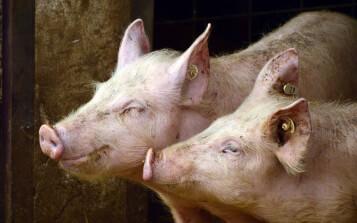 Los países de las Américas deben mantener vigilancia ante la reciente detección de la peste porcina africana en República Dominicana
