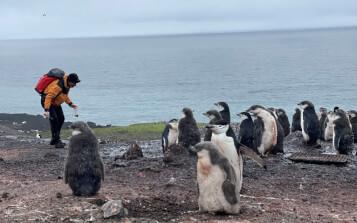 Analizan metales pesados hallados en el cuerpo y excrementos de pingüinos antárticos para evaluar su concentración liberada al medio marino