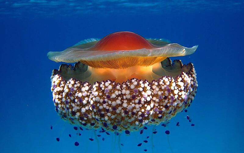 Una medusa mediterránea sobrevivirá al cambio climático