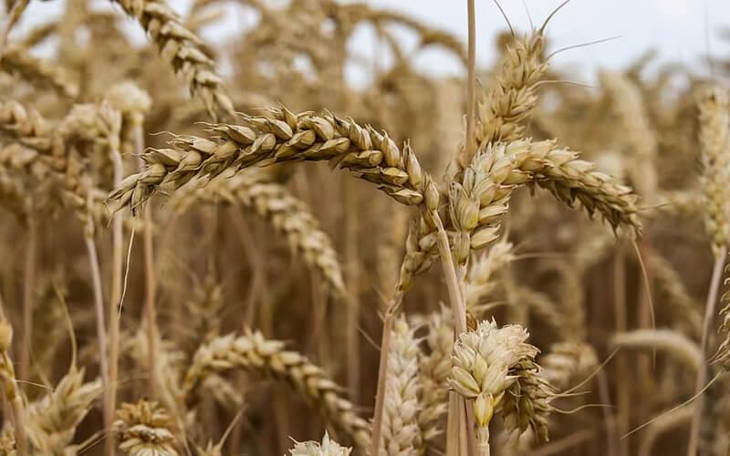 Principales productos agrícolas bajarán de precio en EEUU ante pronósticos de lluvia